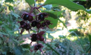 arbre aux faisains leycestria formosa