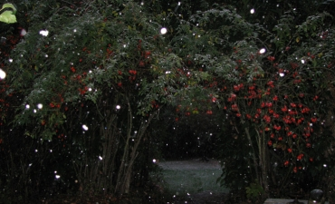 neige insolite en Octobre sur les baies d'églantier