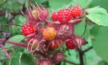 japanese wineberry, rubus phoenicolasius